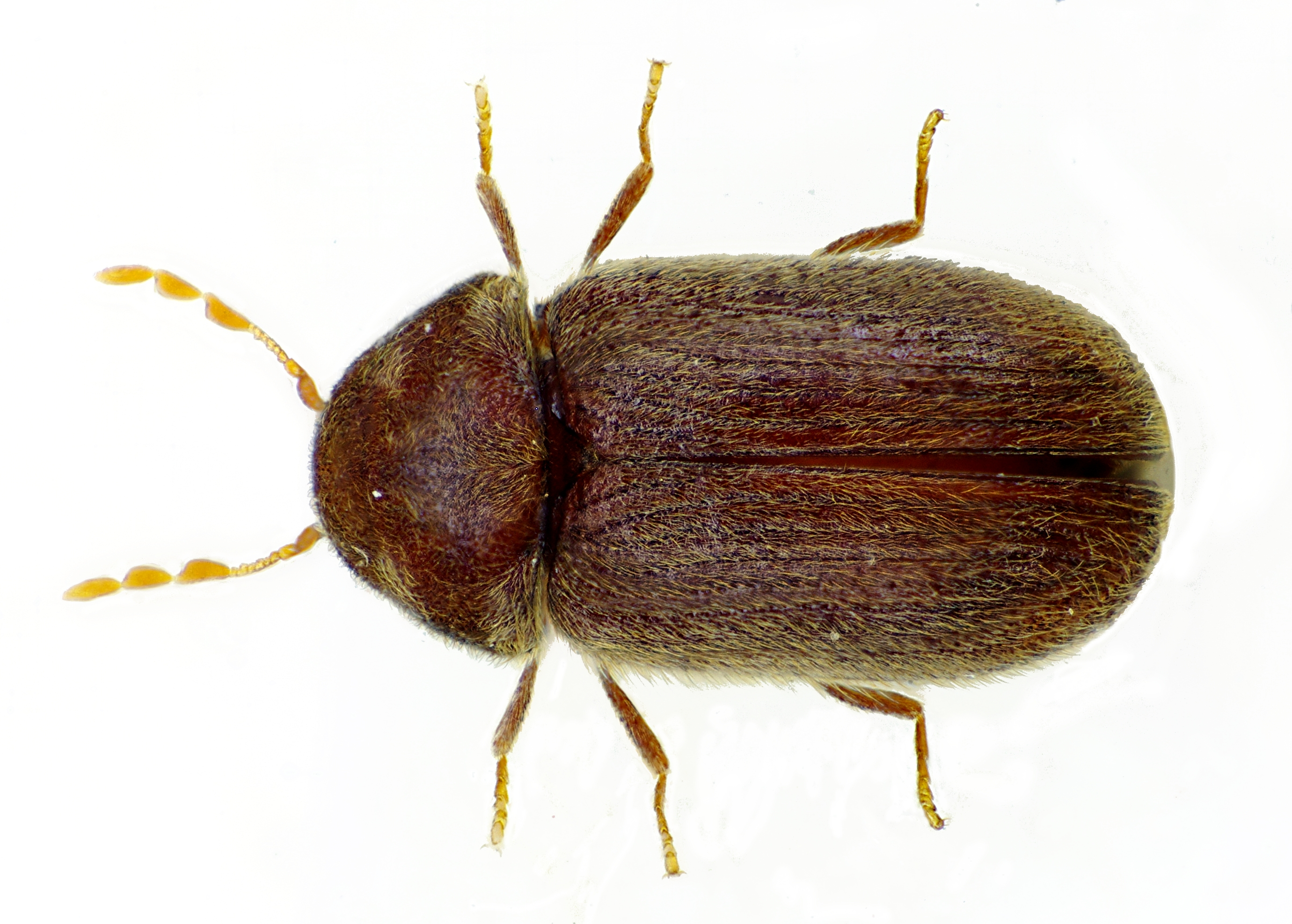 Drugstore beetle - Wikipedia