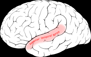 Superior temporal gyrus Part of the brains temporal lobe
