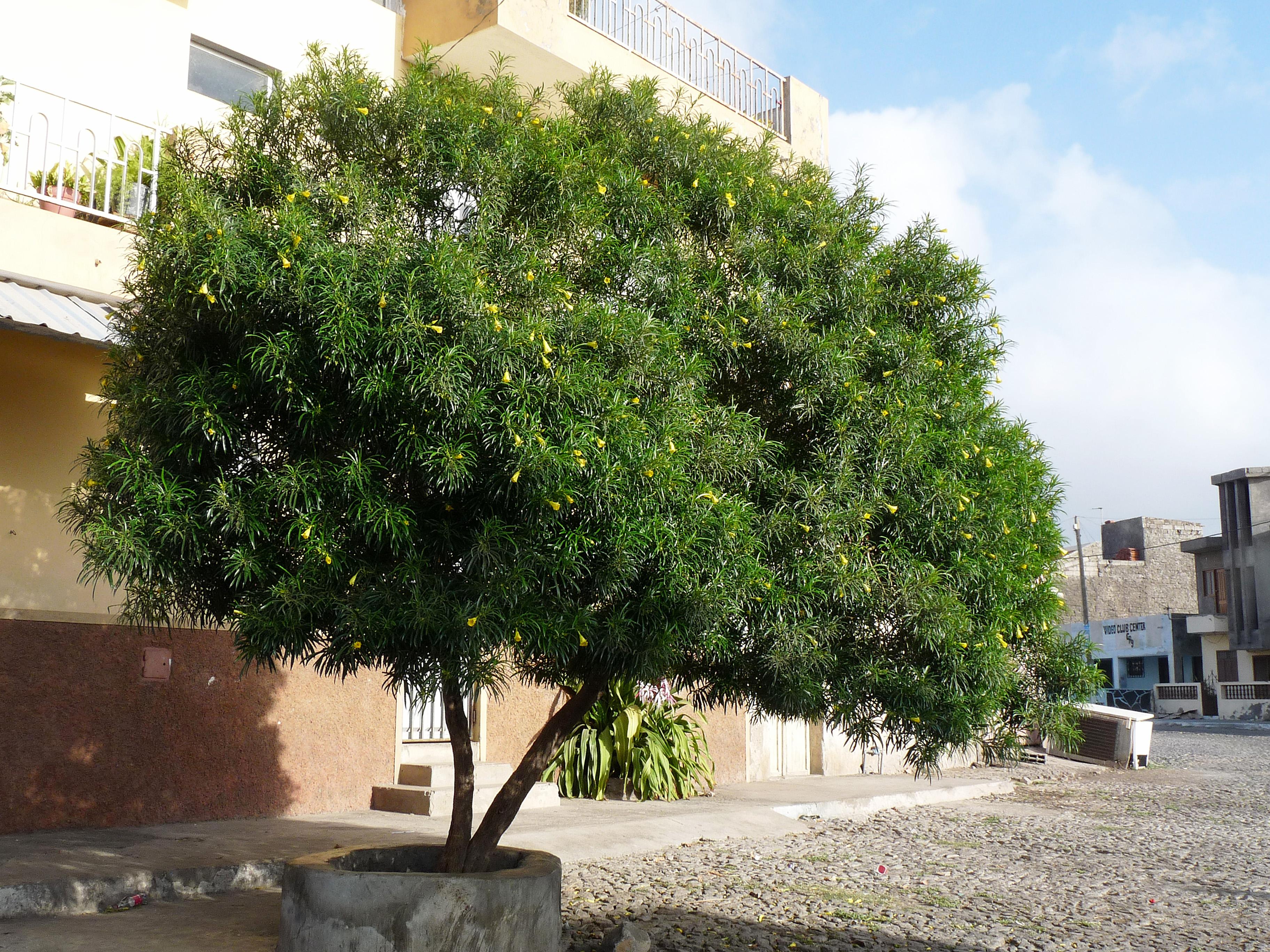 File tarrafal thevetia peruviana 2 jpg wikimedia commons for Arboles altos para jardin