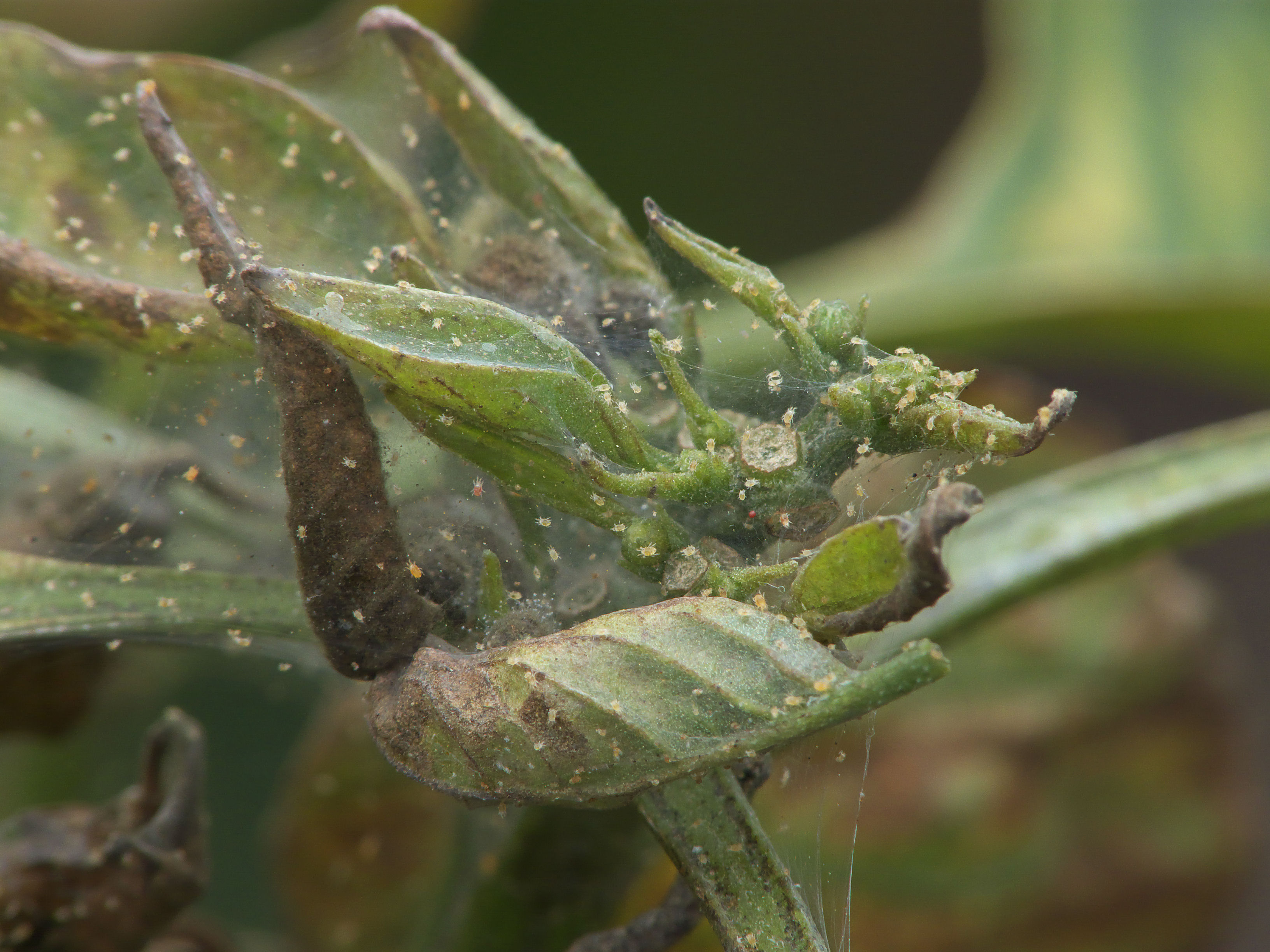 Tetranychus Urticae On Sweet Pepper C Bonenspintmijt Op Paprika