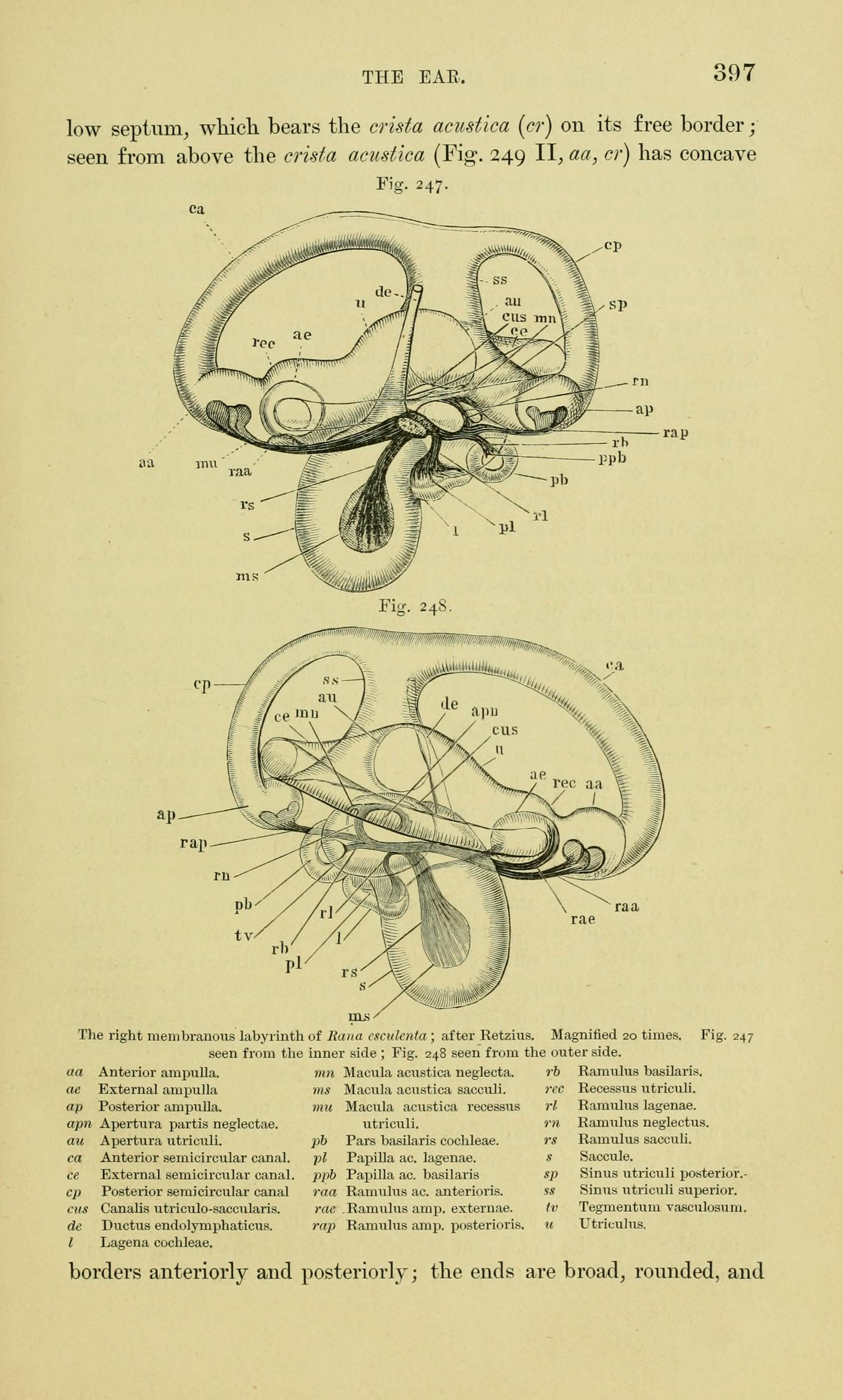 File:The anatomy of the frog (Page 397, Figs. 247-248) BHL7555167 ...