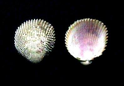 Trachycardium muricatum.jpg © Veronidae