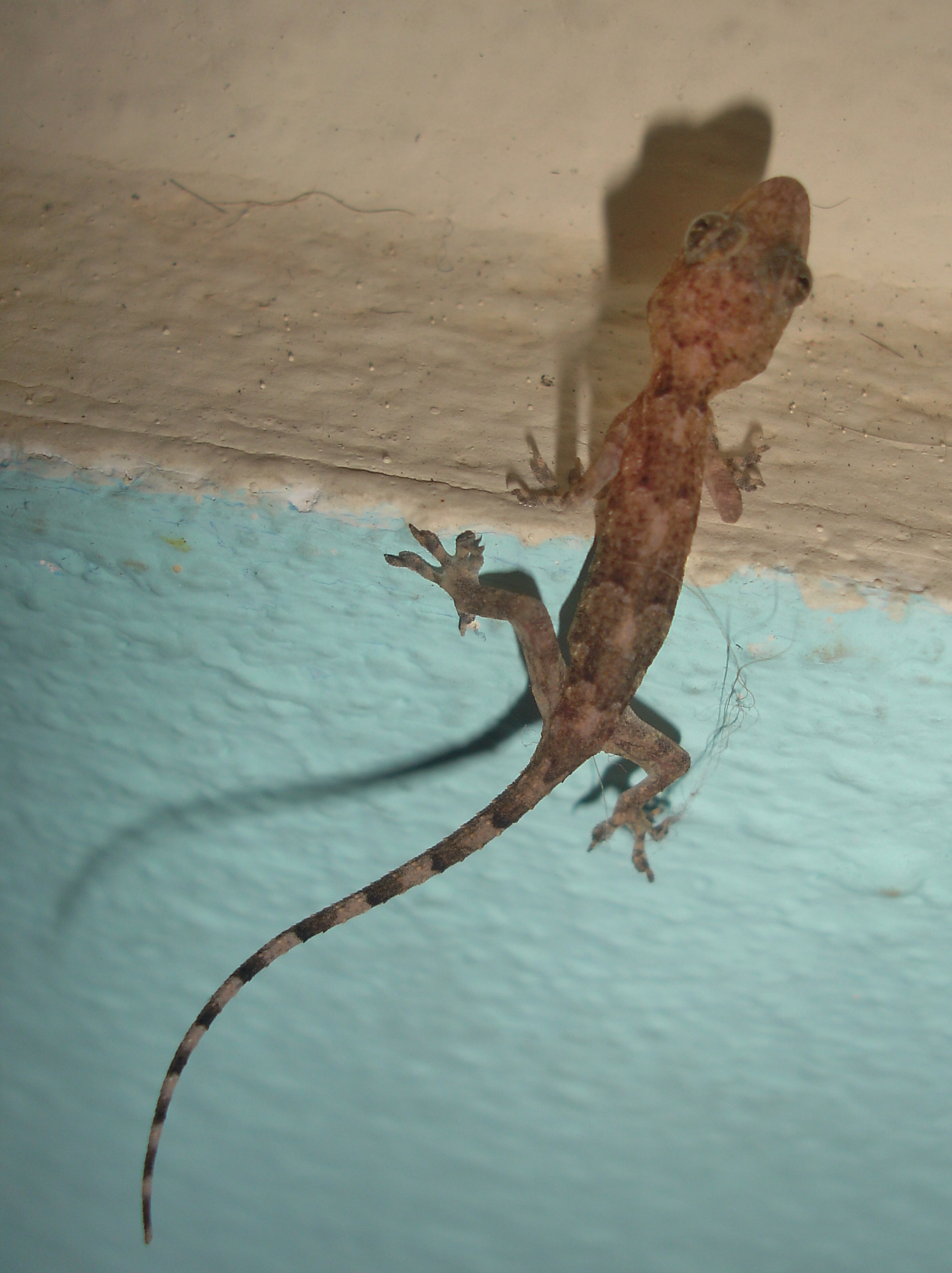 Ring Tailed Gecko Size