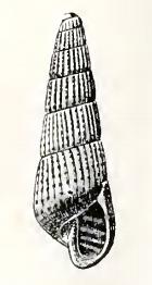 Turbonilla heterolopha 001.png