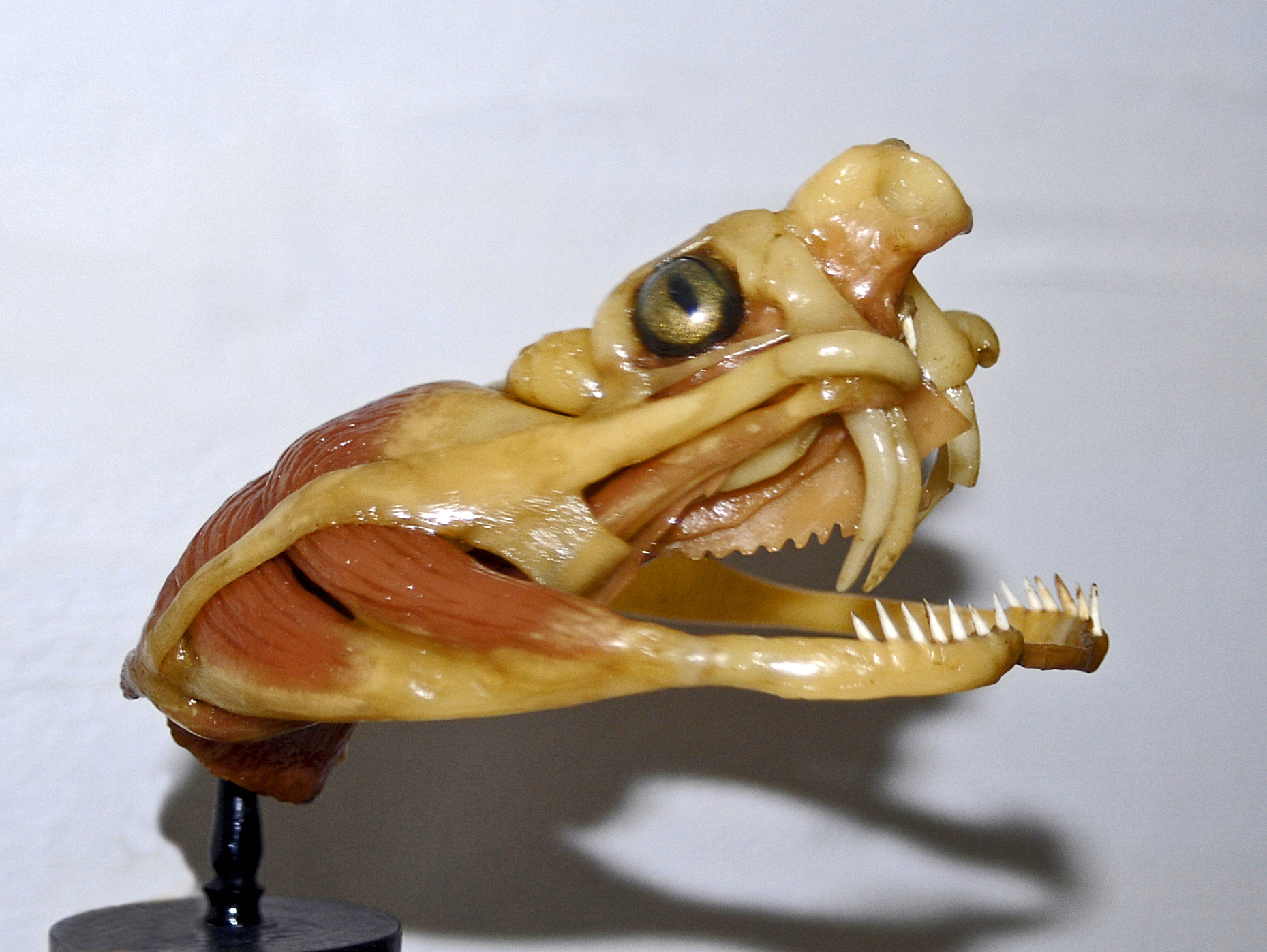 Snake venom - Wikipedia