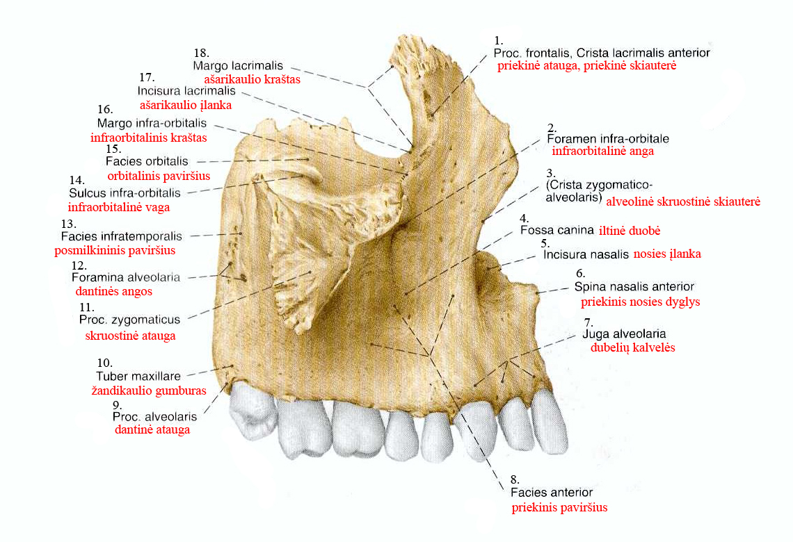 filevirutinis andikaulis maxillajpg