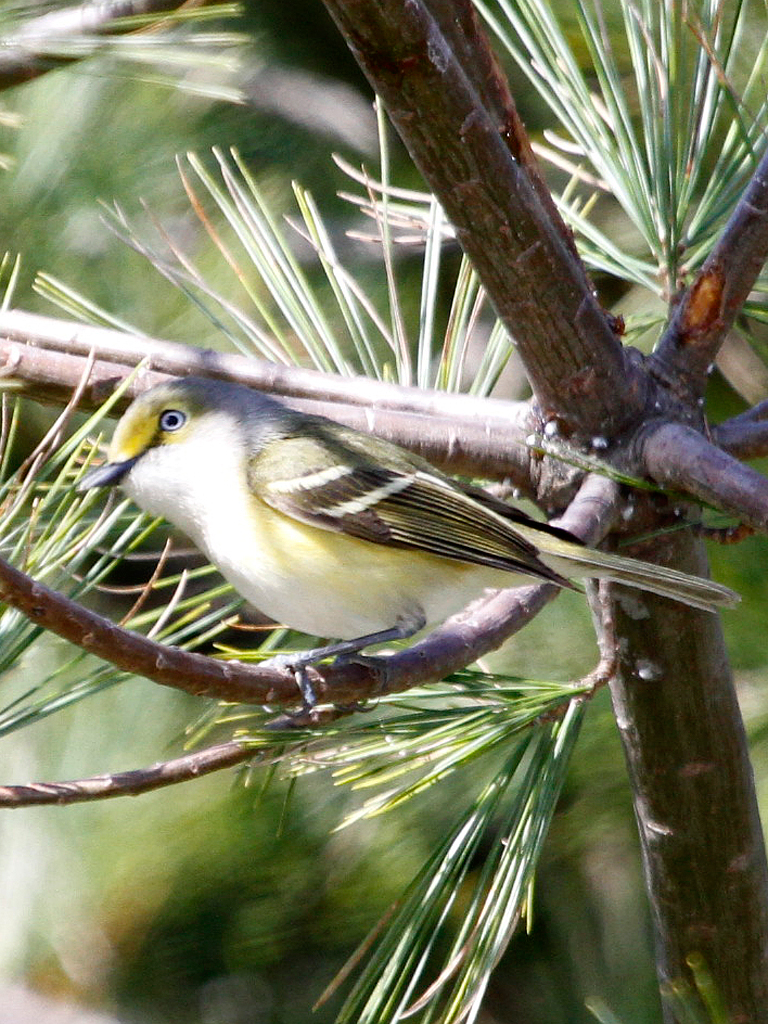 White Eyed Vireo Wikipedia