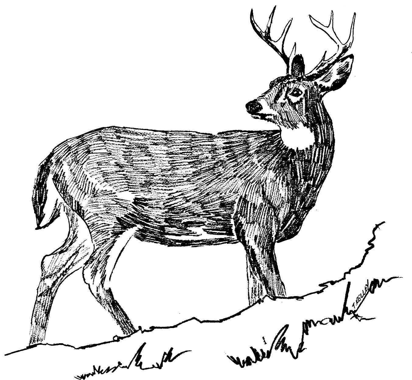 Line Drawings Of Animals Deer : File white tailed deer black and line art drawing