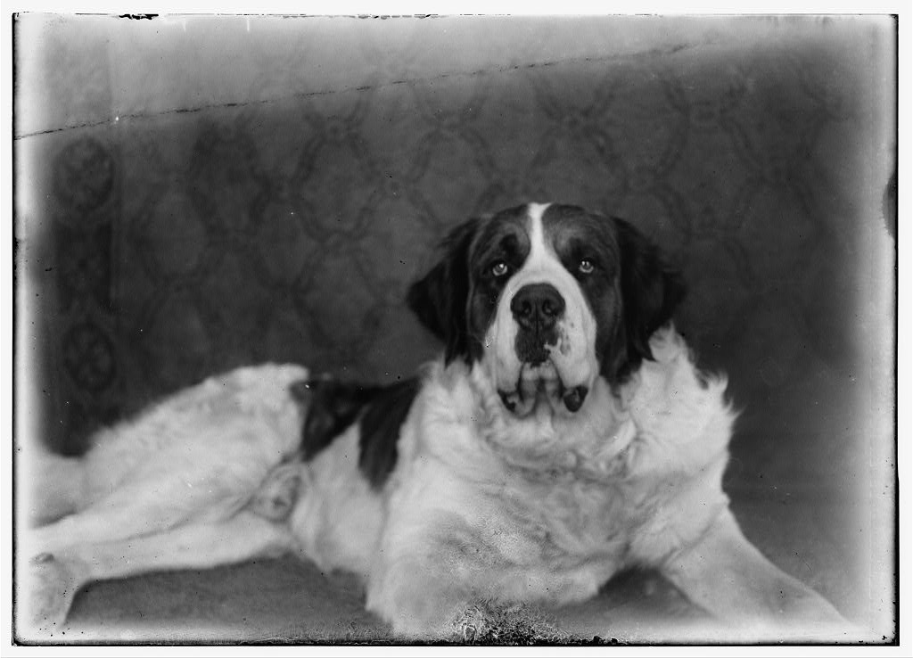 Black St Bernard Dog