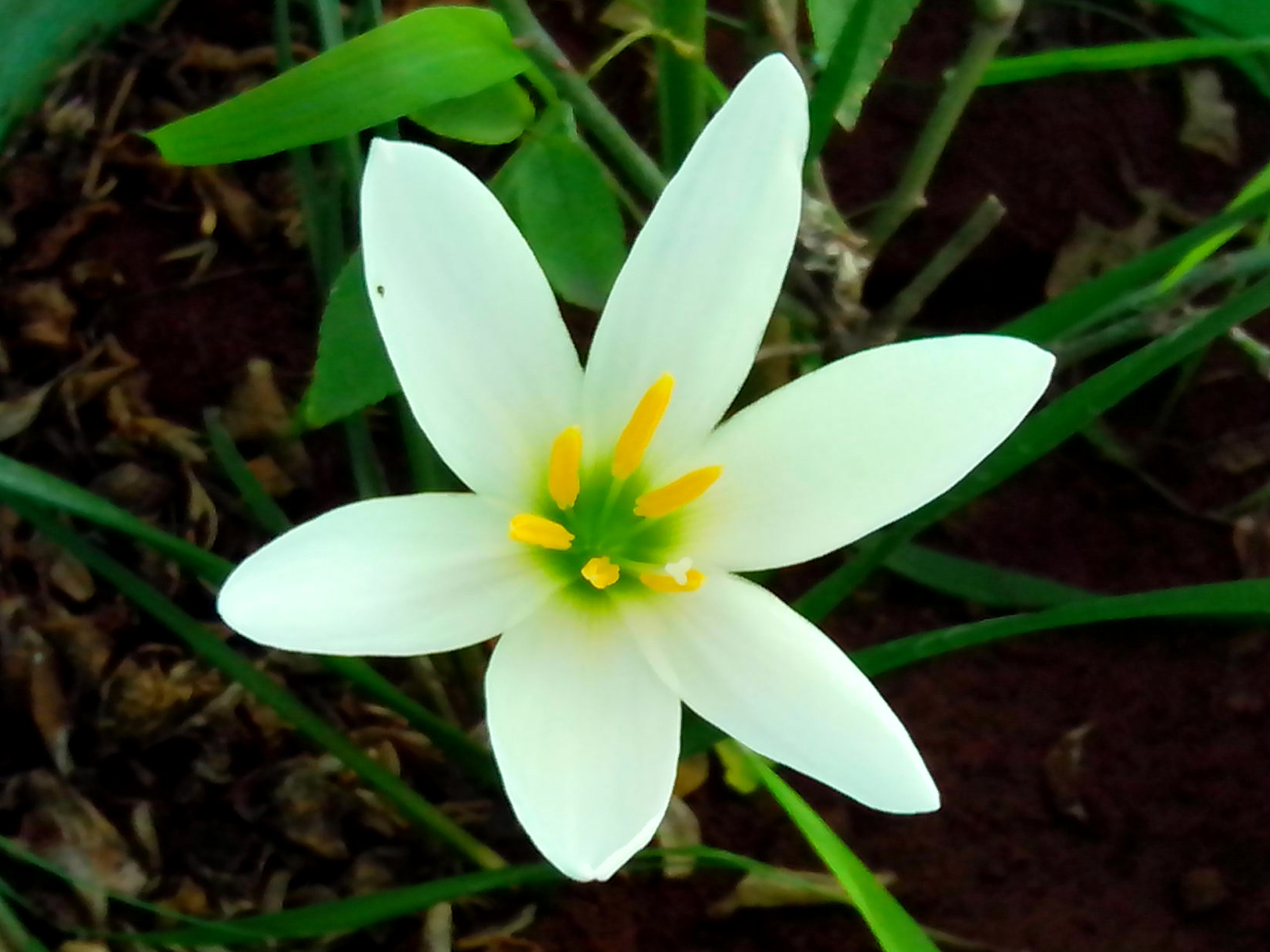 Filezephyranthes Candida White Ginger Lily 02g Wikimedia Commons