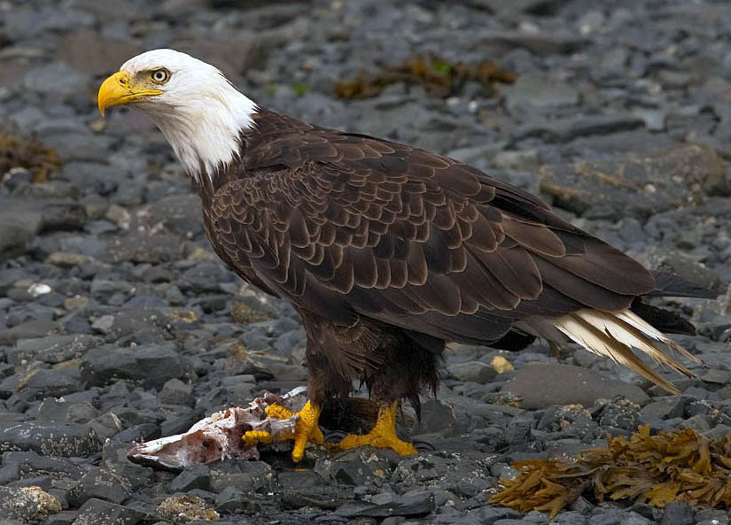 Bald eagle - Wikipedia, the free encyclopedia