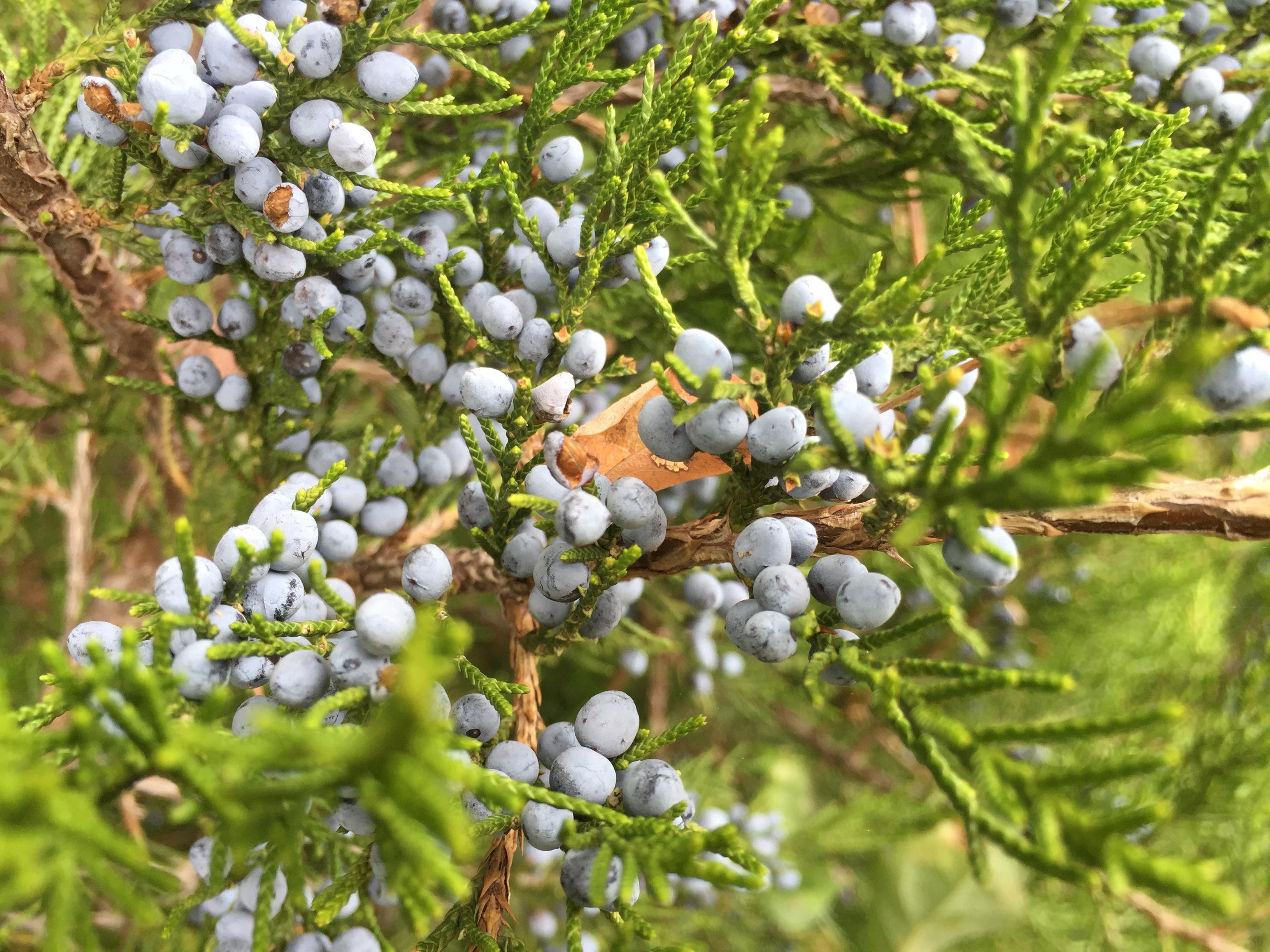 File eastern red cedar fruit along
