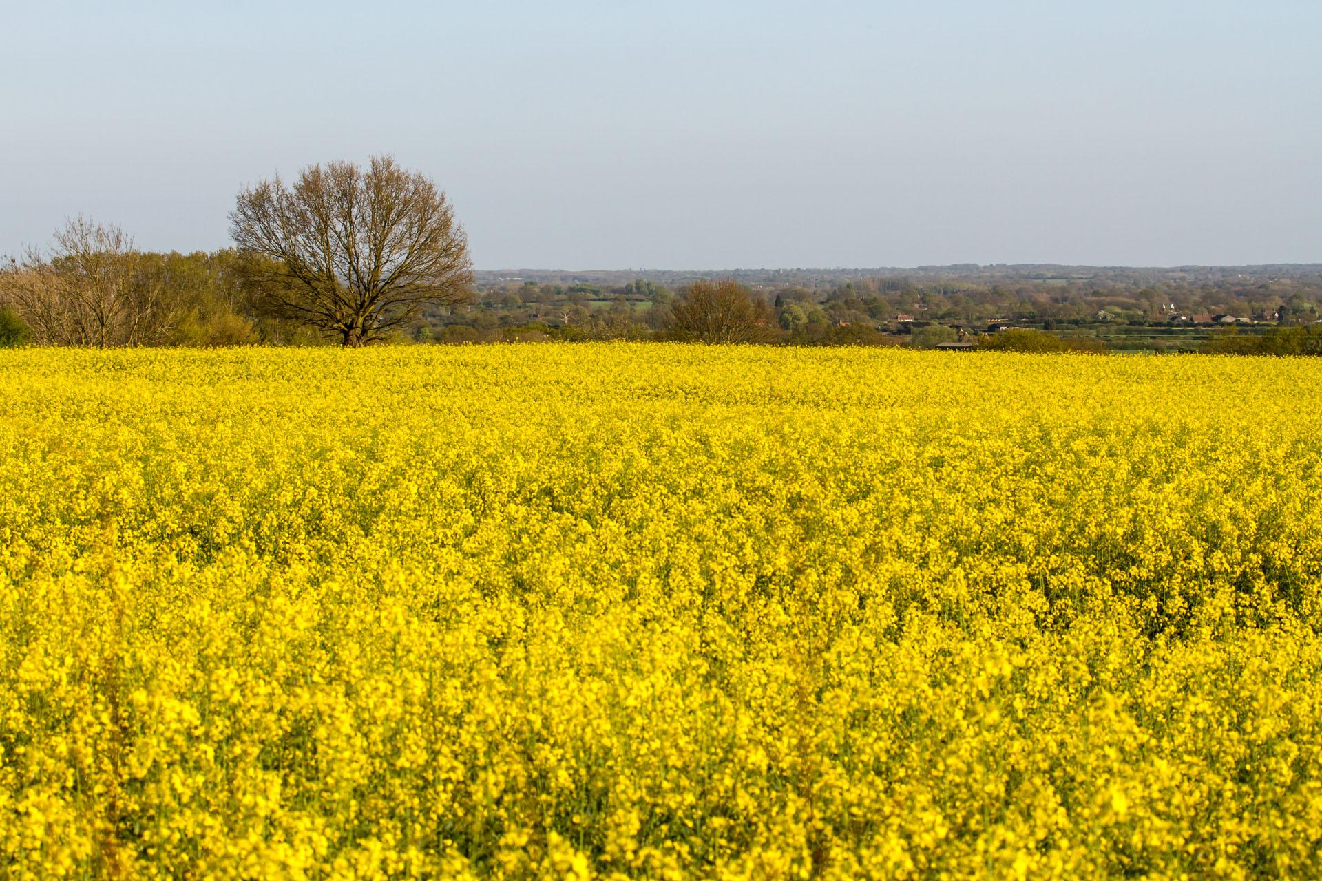 Filea sea of yellow rapeseed flowersg wikimedia commons filea sea of yellow rapeseed flowersg mightylinksfo