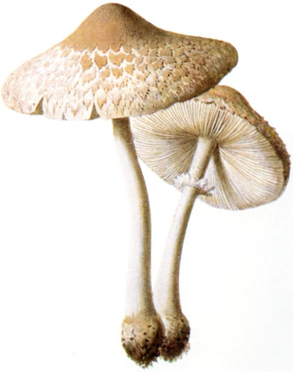 Macrolepiota Excoriata Wikipedia
