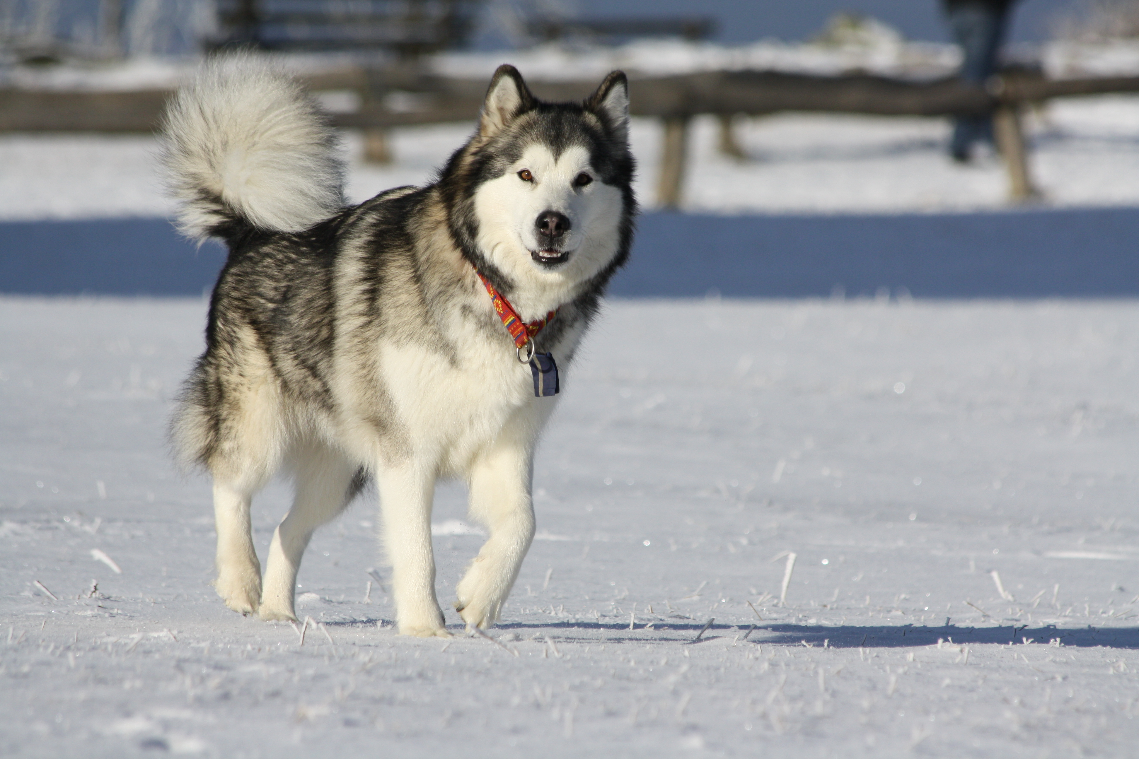Alaskan Malamute dog playing in the snow.