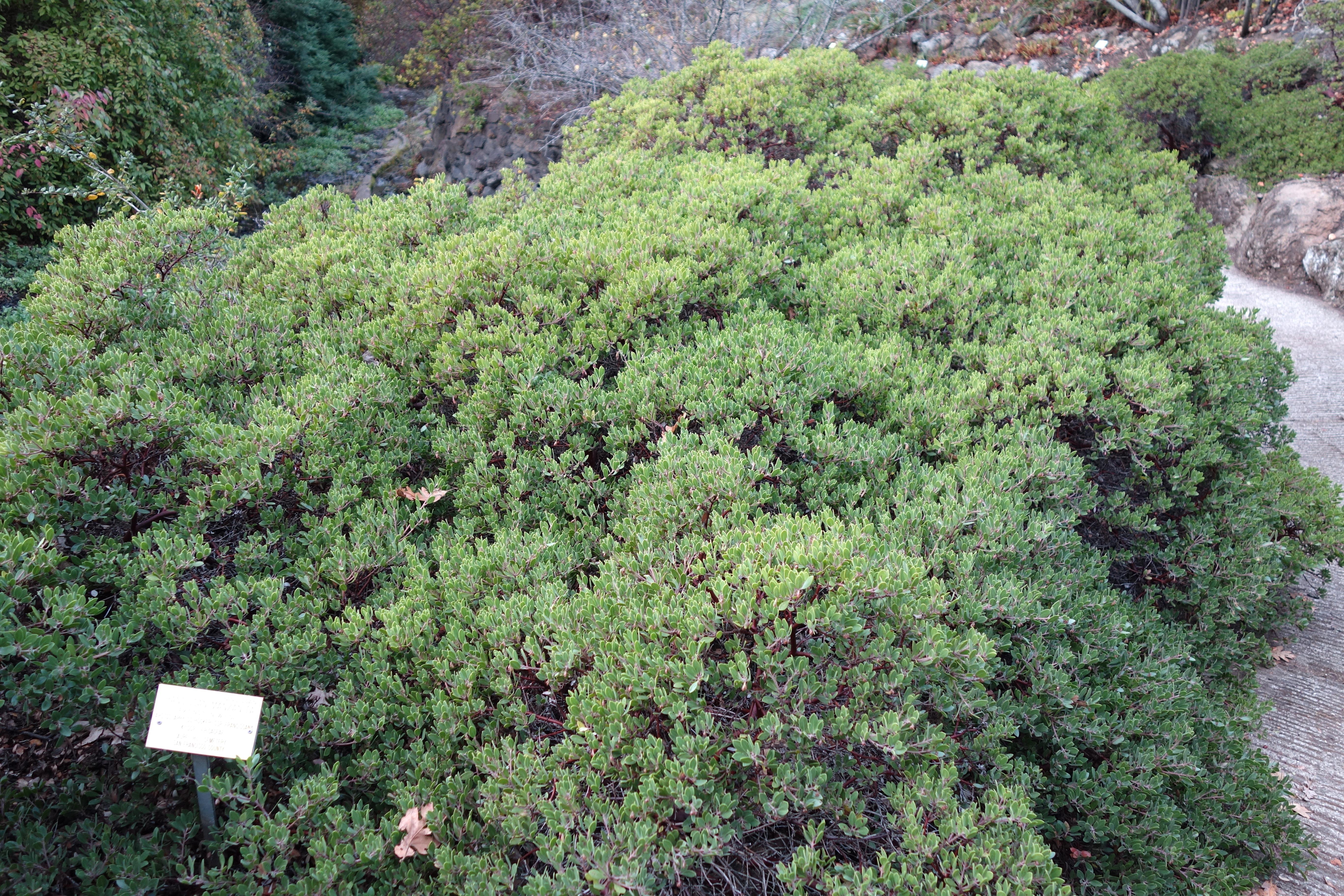 FileArctostaphylos franciscana Regional Parks Botanic Garden