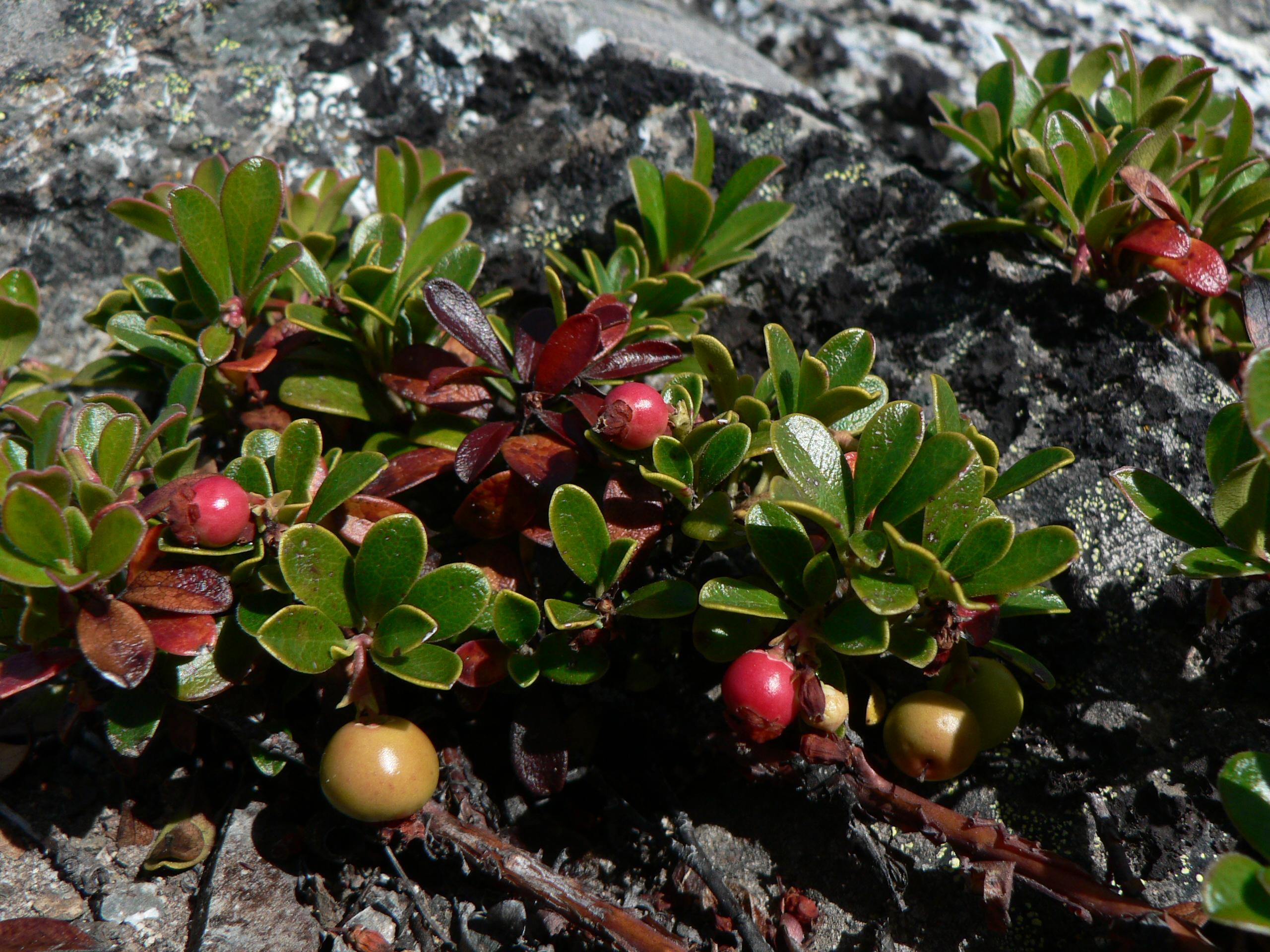 File:Arctostaphylos uva-ursi 23018.JPG - Wikimedia Commons