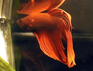 Poisson Betta