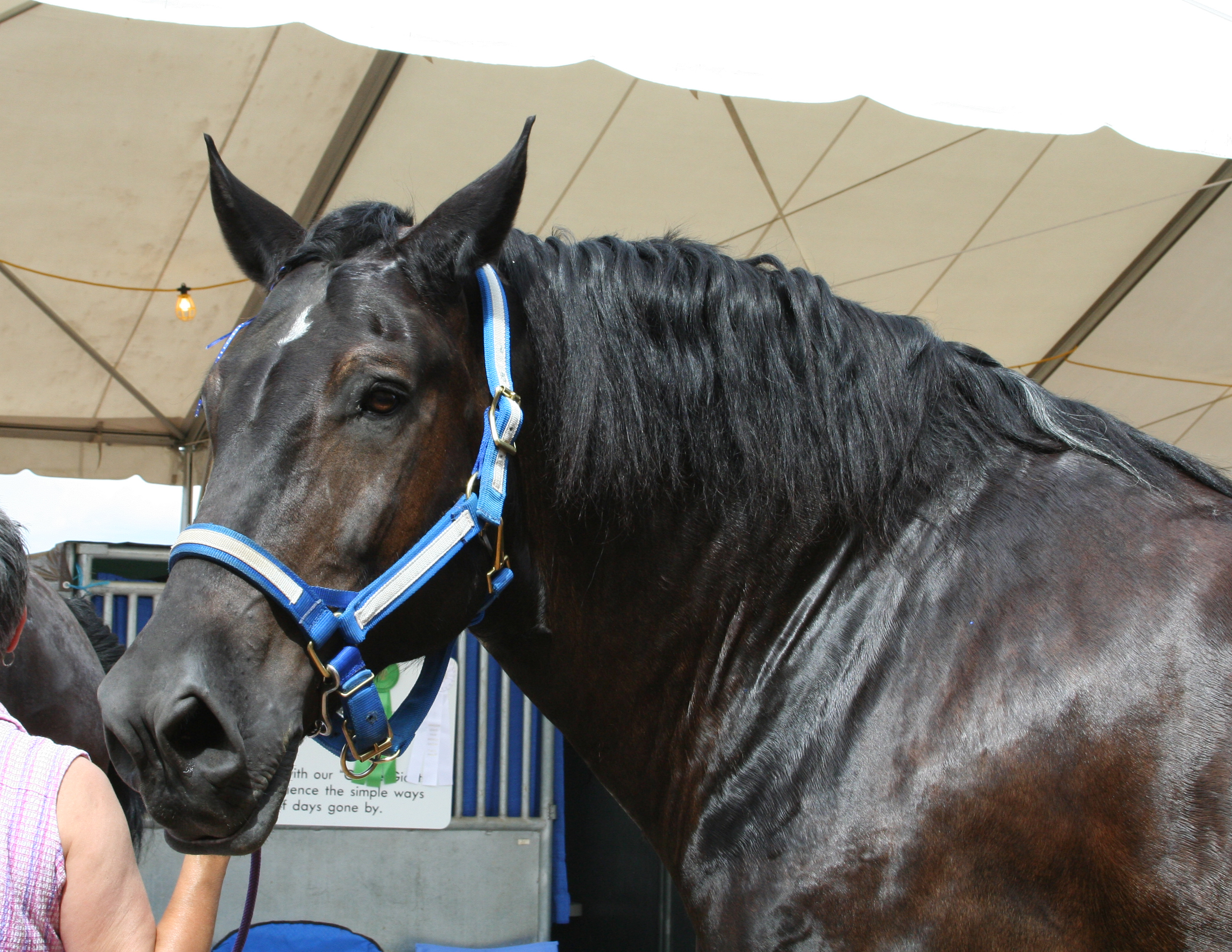 File Black Percheron Draft Horse Head Jpg Wikimedia Commons