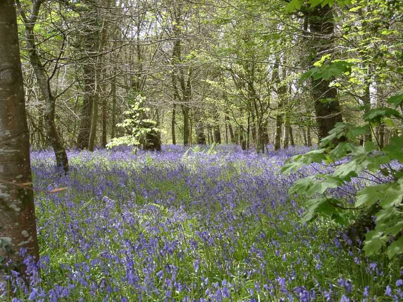 File:BluebellWood.jpg
