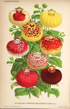 Calceolaria illustration
