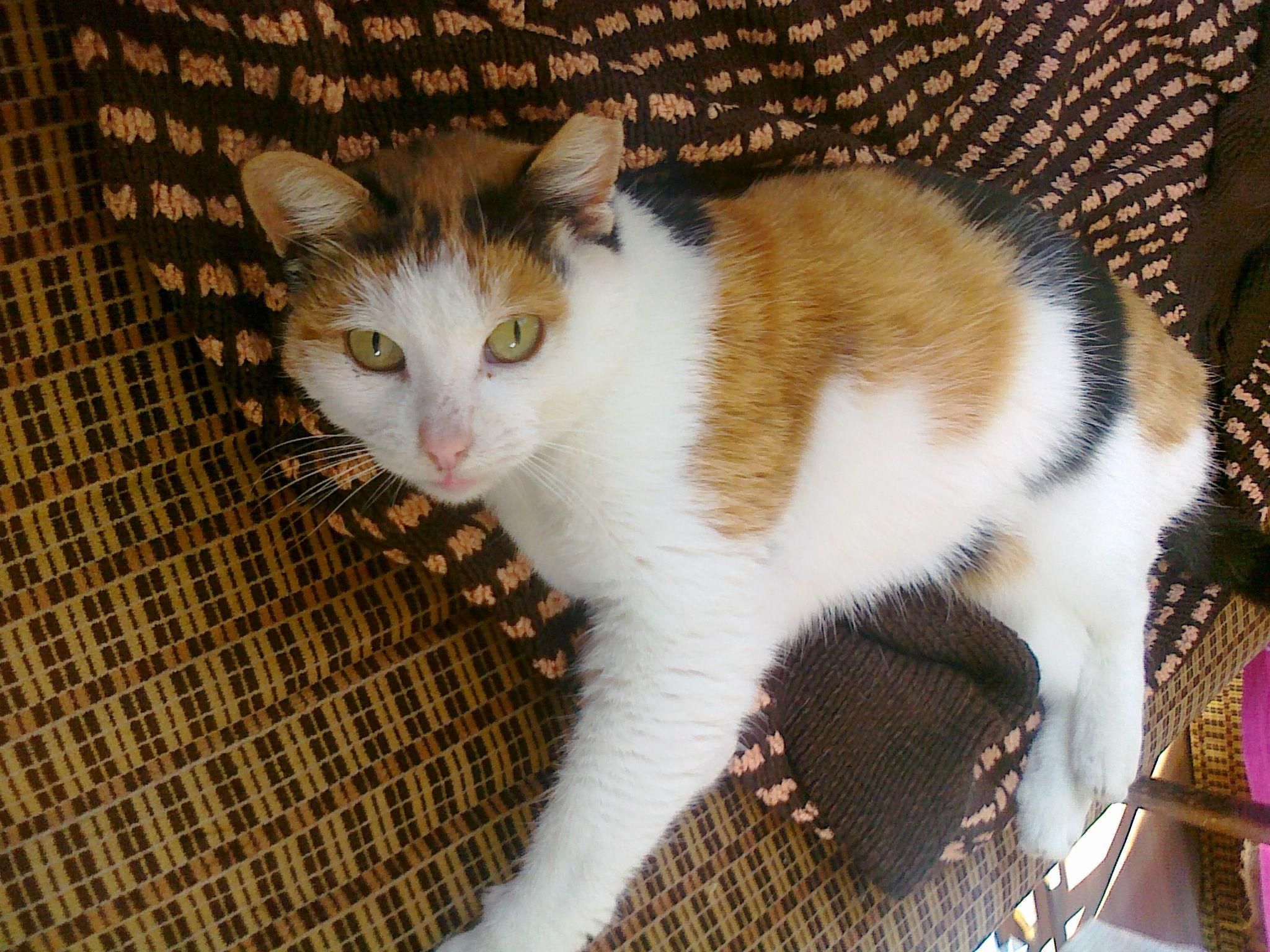 Calico cat - Wikipedia