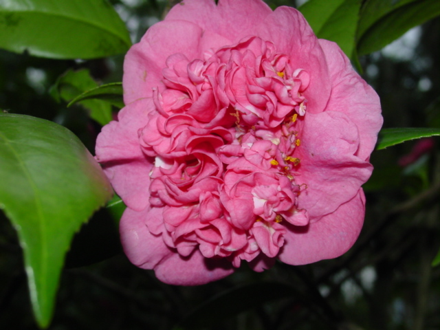 Ficheiro:Camellia japonica-anemone.jpg