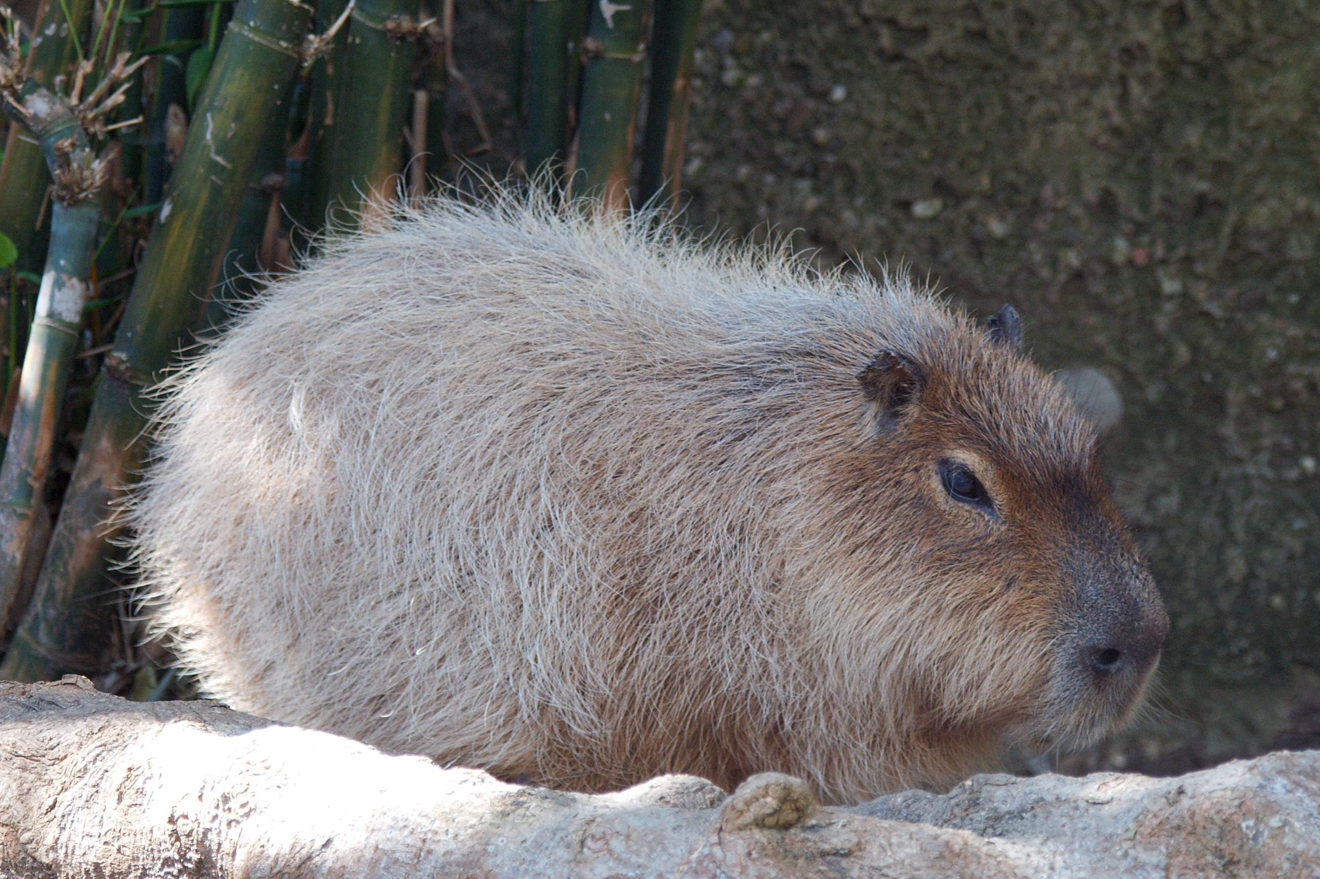 File:Capybara 5084.jpg - Wikimedia Commons
