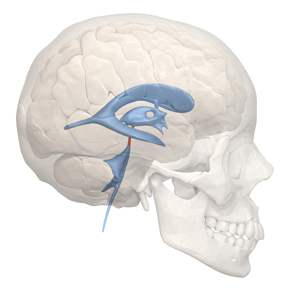 File Cerebral Aqueduct 02 Png Wikimedia Commons Above is part of a list of various areas and anatomical names of the human brain. https commons wikimedia org wiki file cerebral aqueduct 02 png