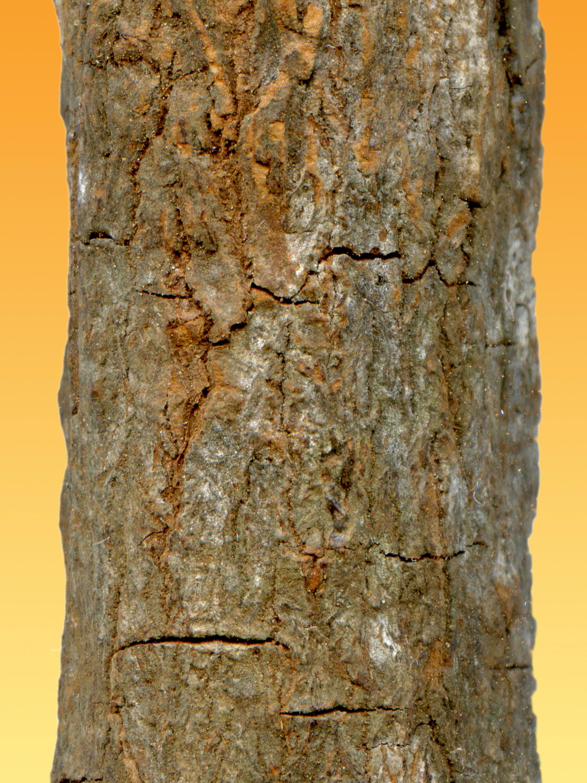 File:Cinchona officinalis 002.JPG - Wikimedia Commons
