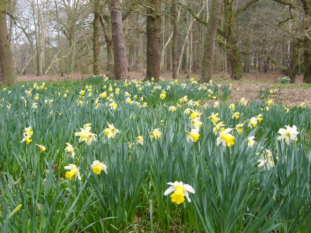 Daffodils in the grounds of The Lodge, Sandy - geograph.org.uk - 388888