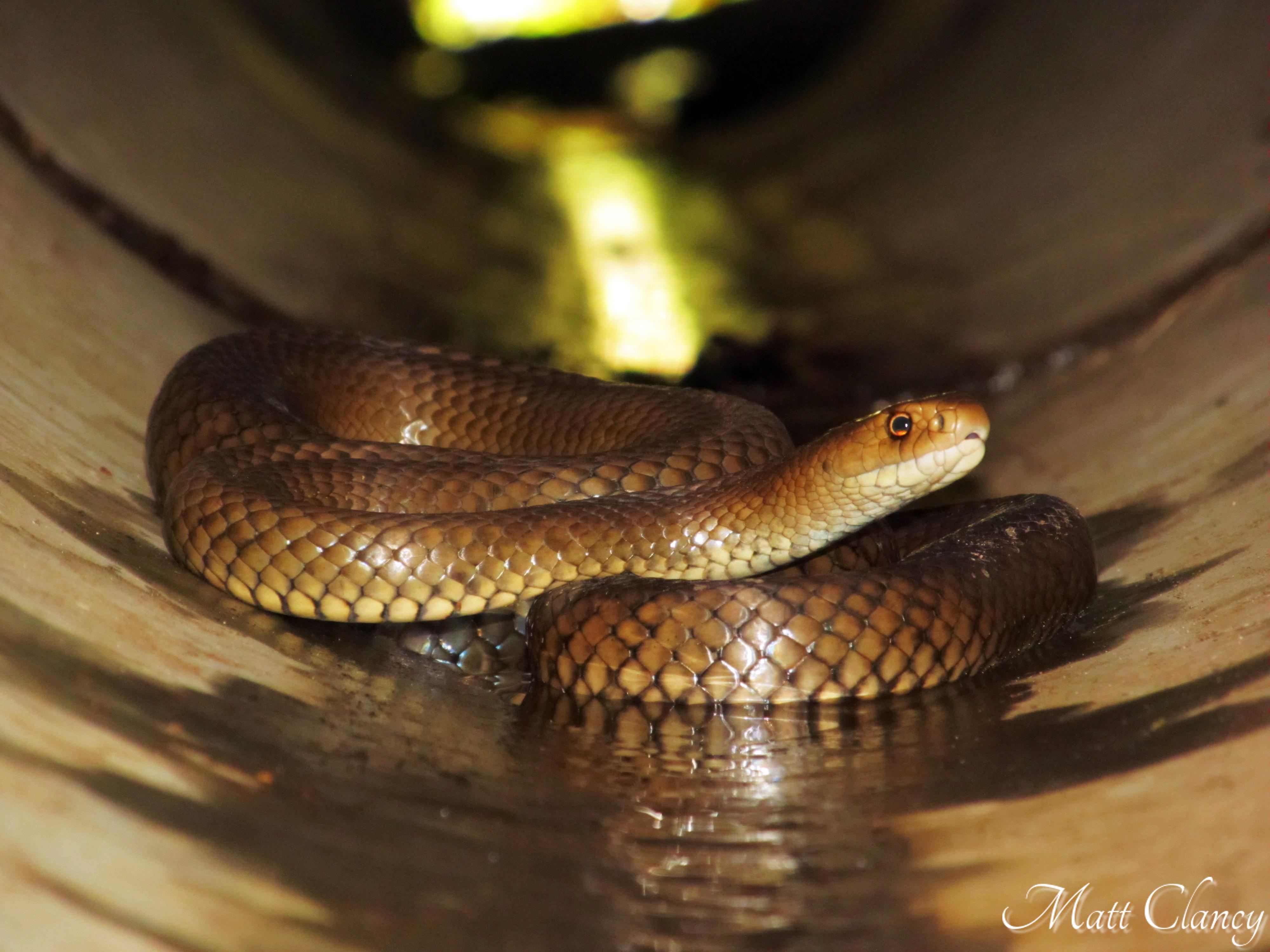 hawaii brown snakes - 1200×743