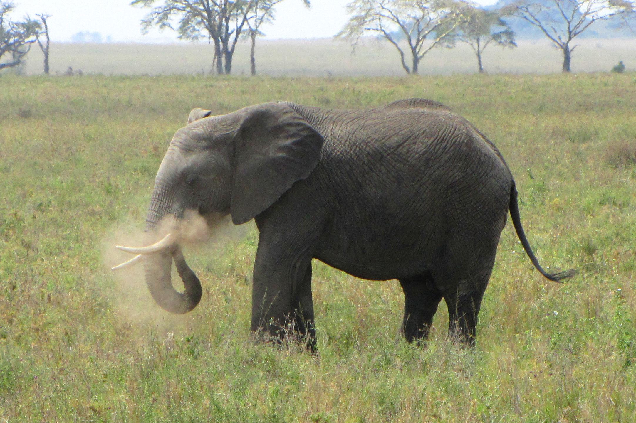 Description elephant dusting itself