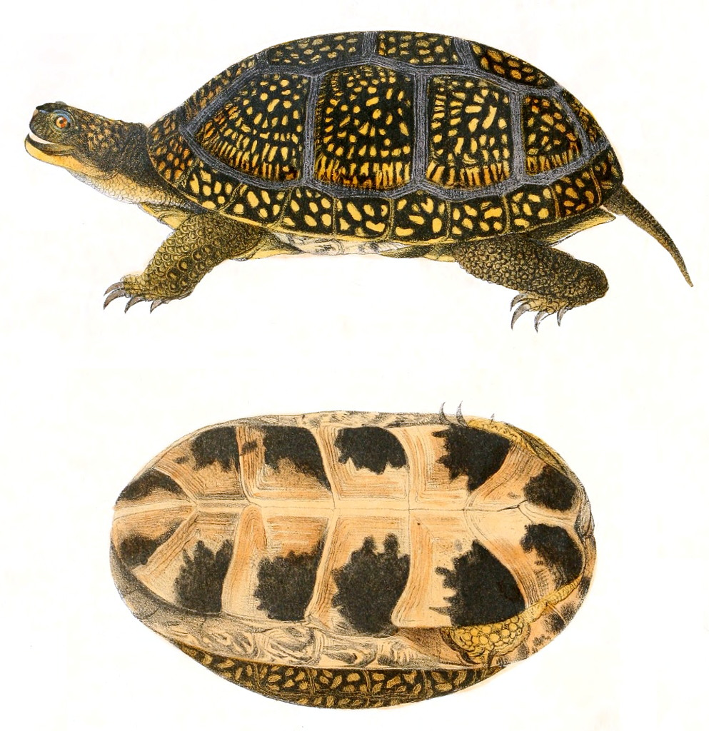 Blanding S Turtle Wikipedia