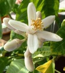 Etrogflower.jpg