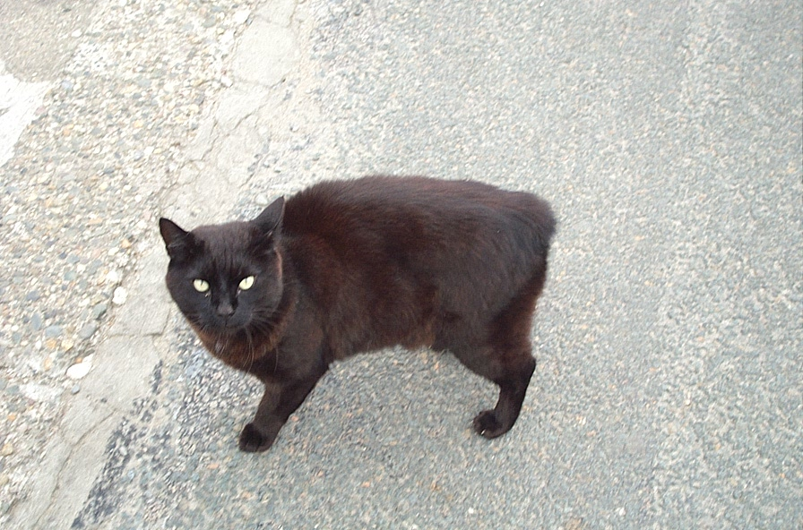 Manx Cats For Adoption In Ohio