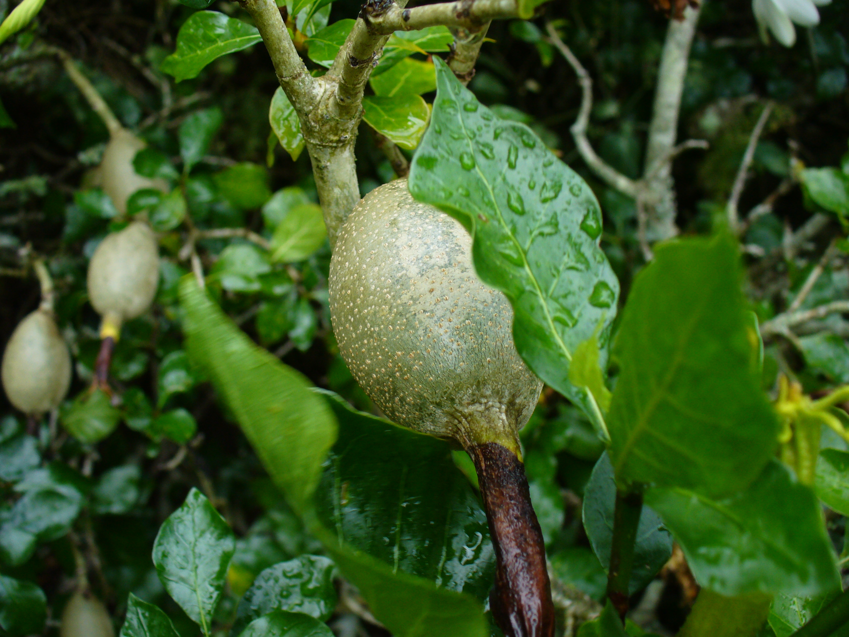 File:Gardenia thunbergia fruit..jpg