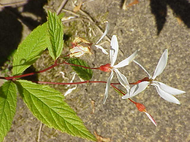 Gillenia Trifoliata Wikispecies