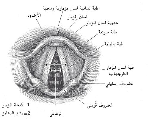 مدخل الحنجرة ويكيبيديا