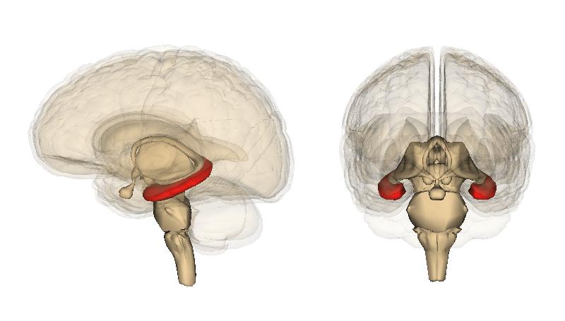 「hippocampus wiki」の画像検索結果
