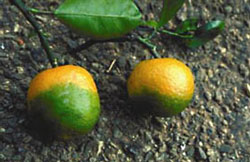 Citrus Greening Disease Wikipedia