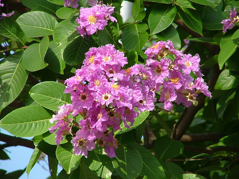 lagerstroemia speciosa  wikipedia, Natural flower