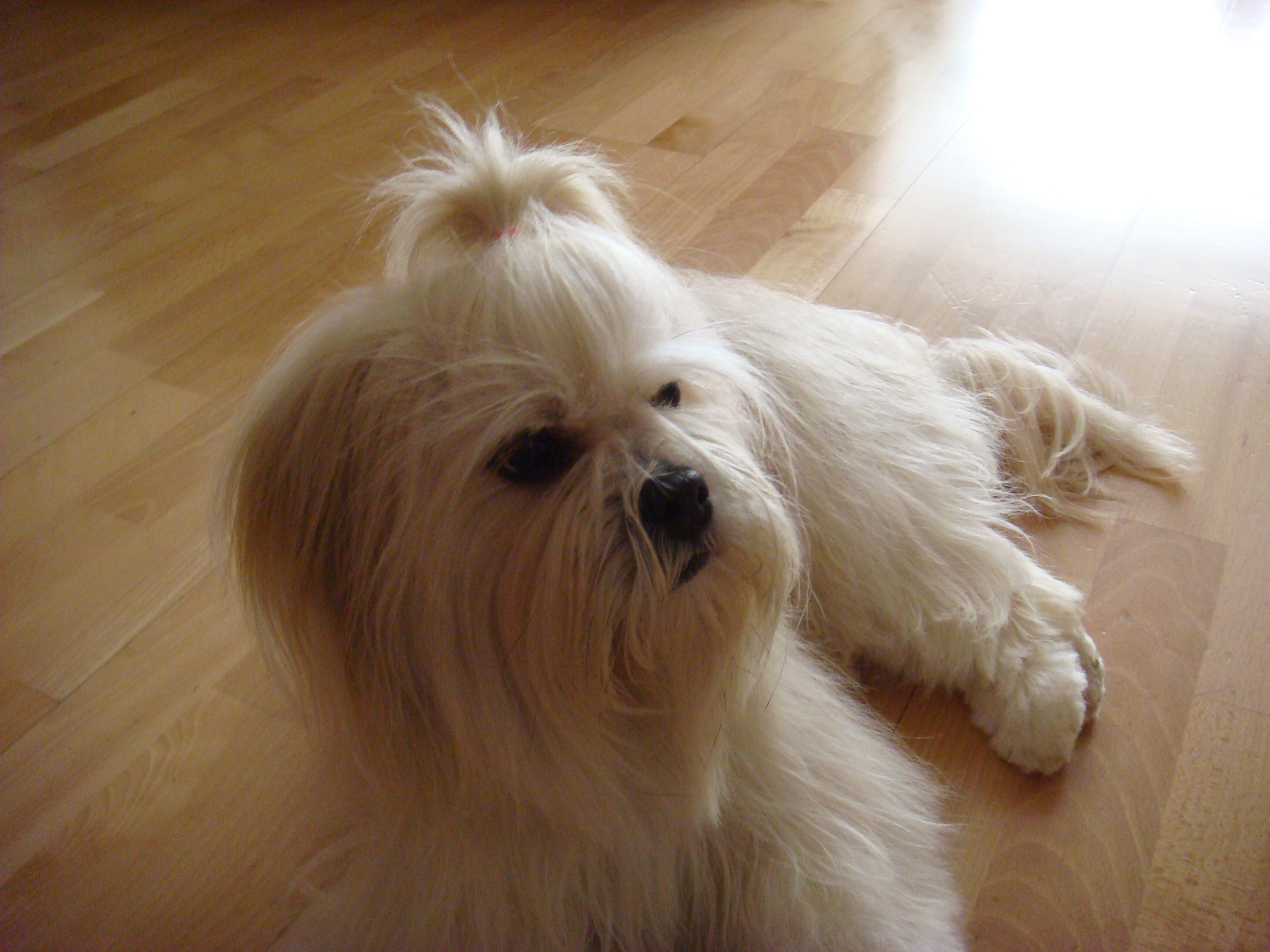 Lhasa Apso Dog Rescue Bellevue Wa
