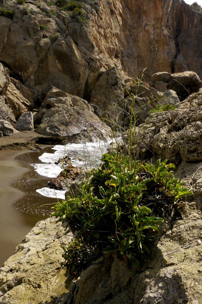 La Sierra Minera - Página 9 Limonium_cossonianum
