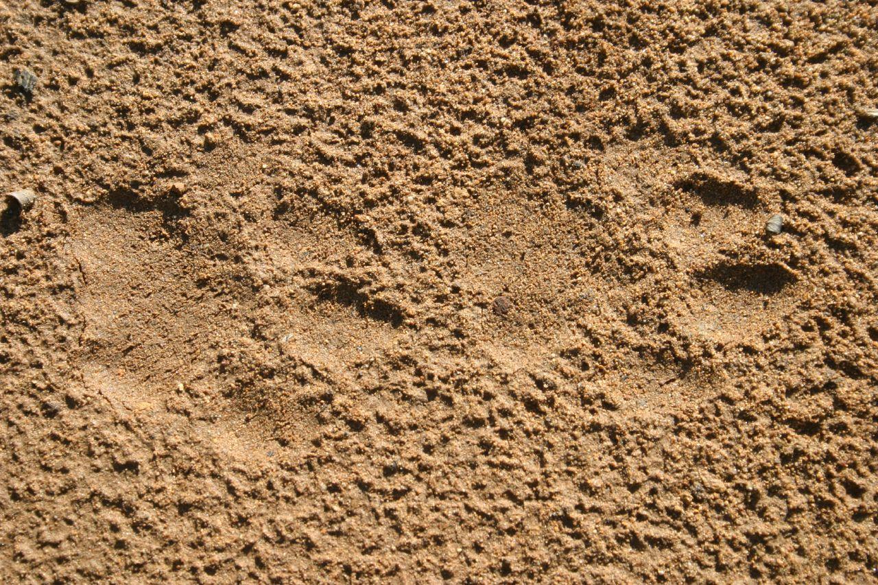 Bobcat Tracks on Desert Coloring Pages Preschool