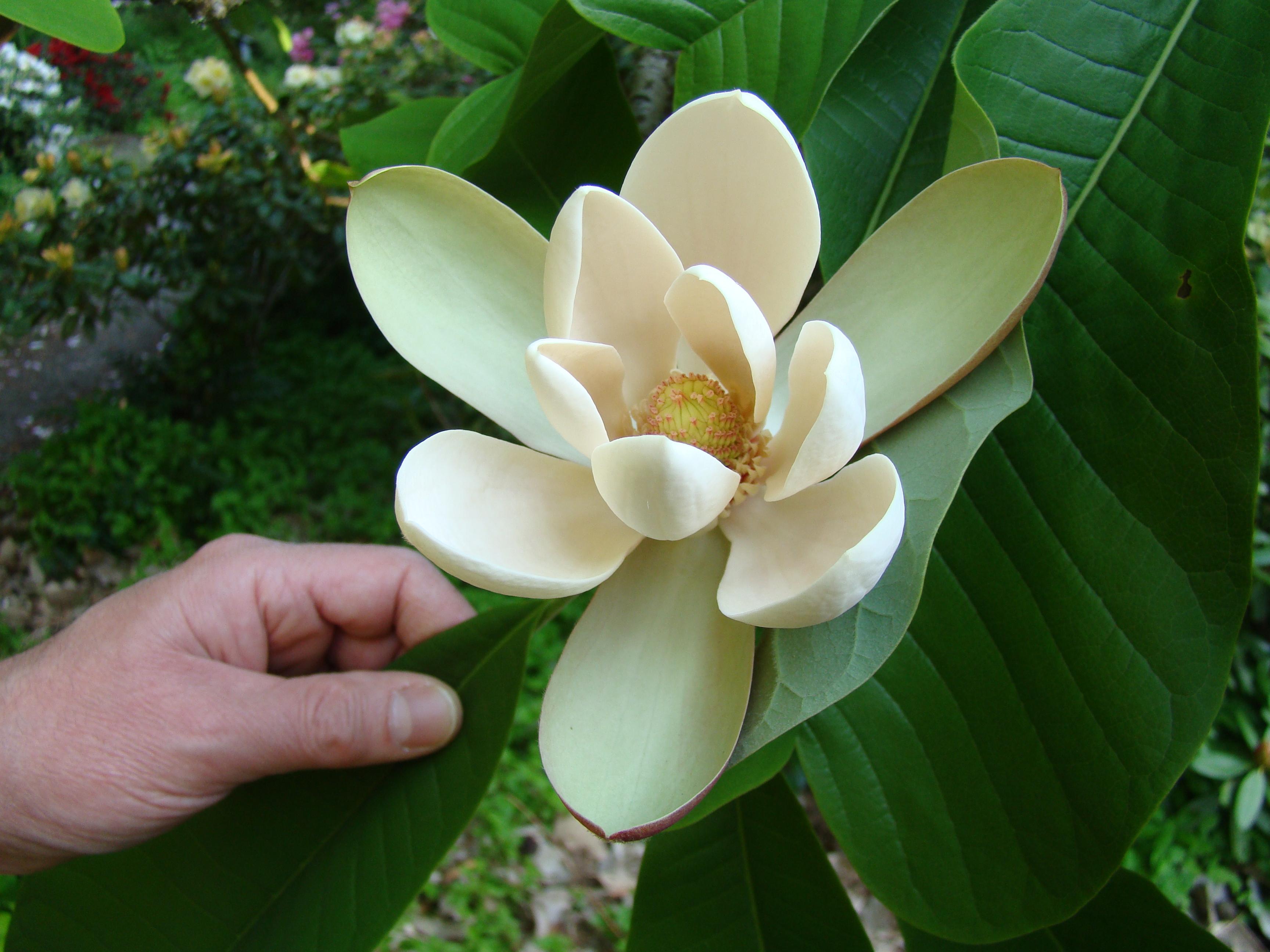 TÌNH YÊU CÂY CỎ  - Page 8 Magnolia_officinalis_biloba