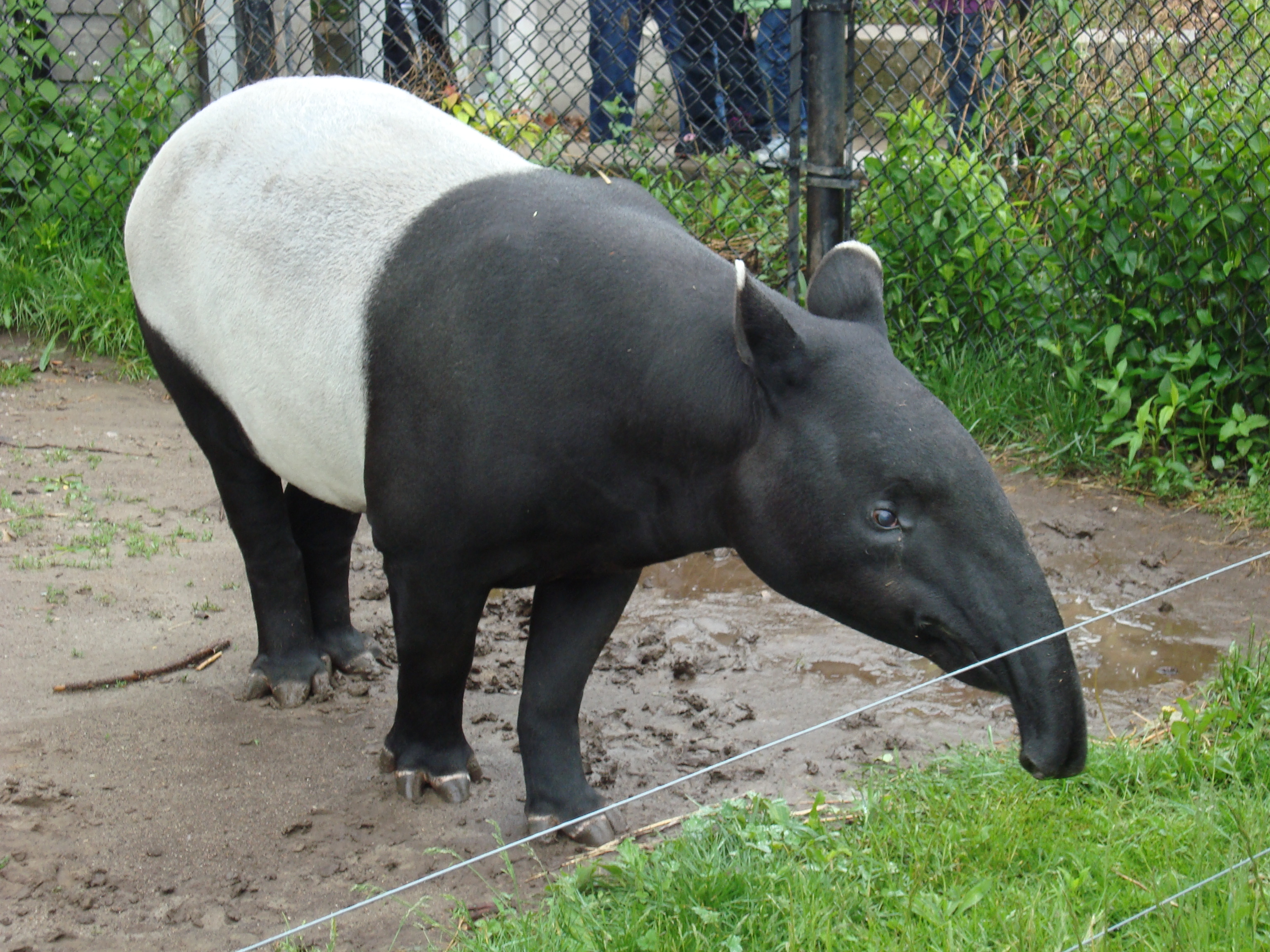 This Tapir Uses His Enormous Dick To Scratch An Itch Nsfw