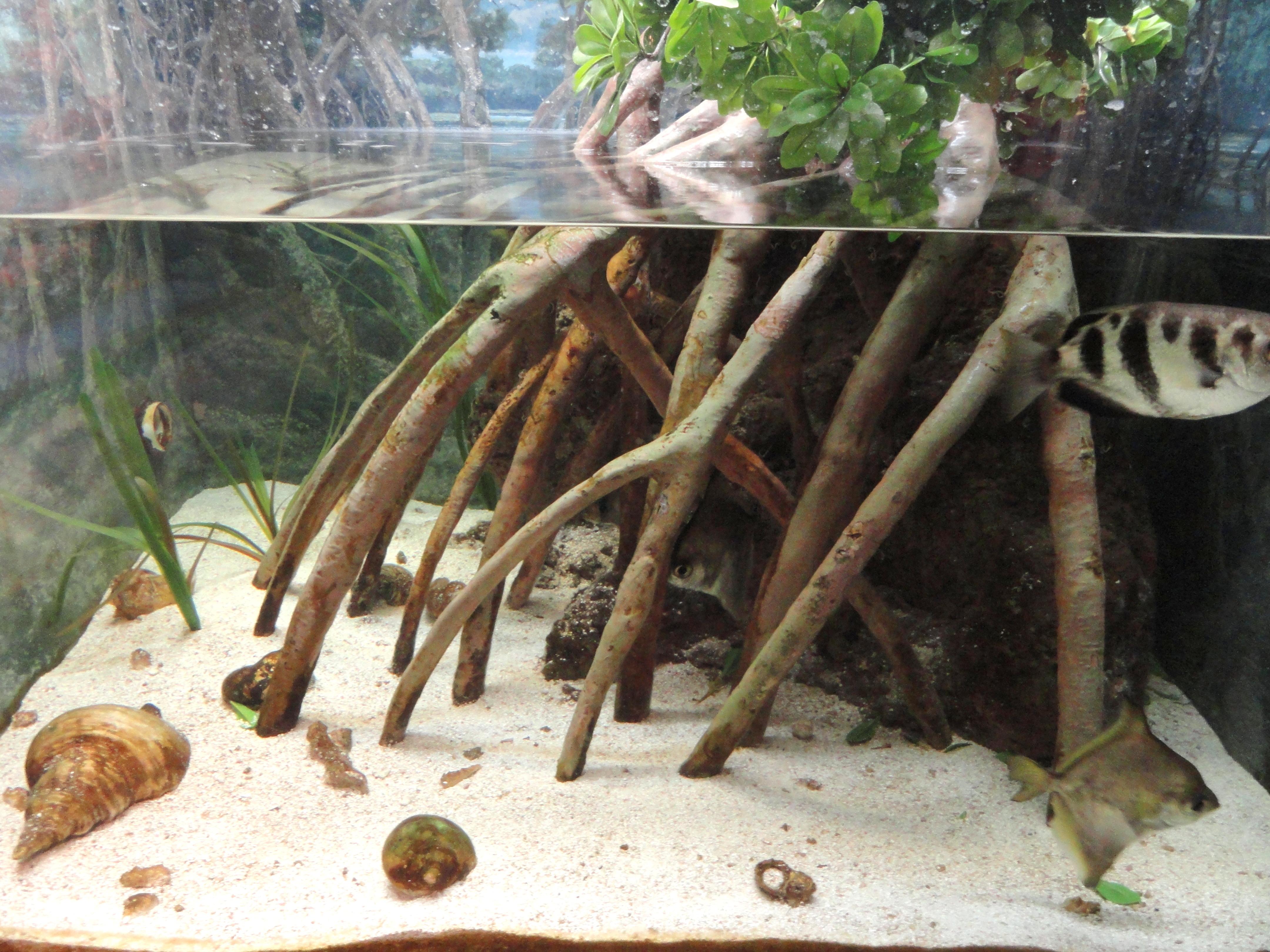File:Mangrove aquarium - Springfield Science Museum - Springfield, MA - DSC03479.JPG - Wikimedia ...
