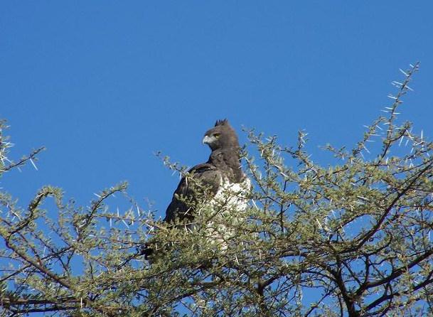 File:Martial Eagle Namibia.jpg