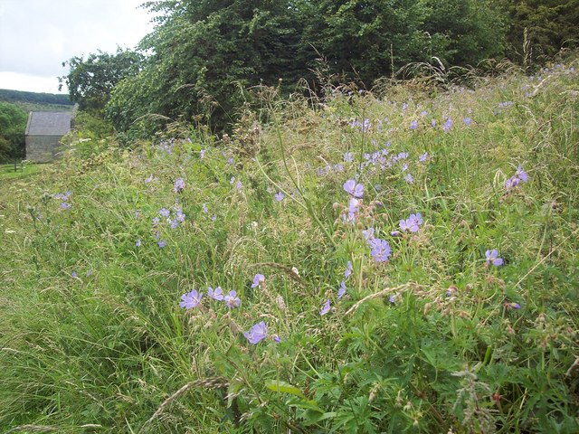 Meadow Cranesbill at Wharram Percy - geograph.org.uk - 501127